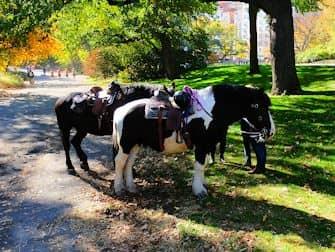 Central Park in New York - Pferde