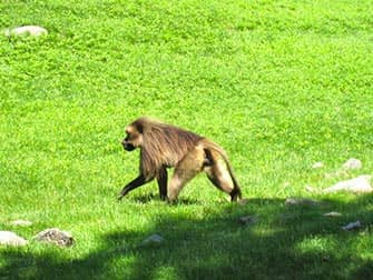 Affen im Bronx Zoo NYC