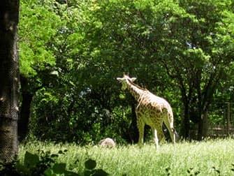 Giraffen im Bronx Zoo NYC